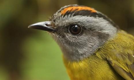Burung Langka Warbler Ditemukan di Amerika Serikat