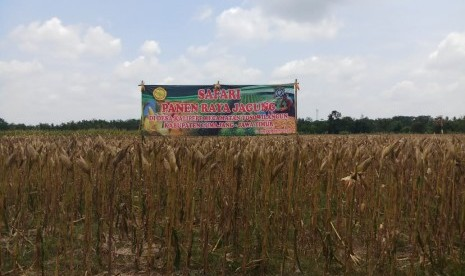 Kementan Panen Raya Jagung di Sejumlah Daerah