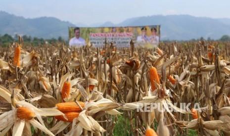 Mentan: Indonesia akan Ekspor Jagung Saat Musim Panen