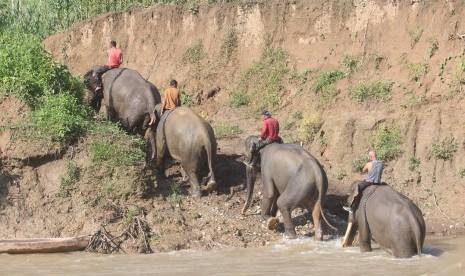 Kawanan Gajah Rusak Perkebunan Warga di Aceh