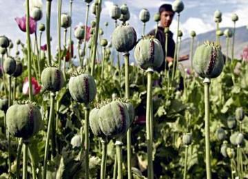 Ini Kaitan Antara Opium dengan Konflik Myanmar