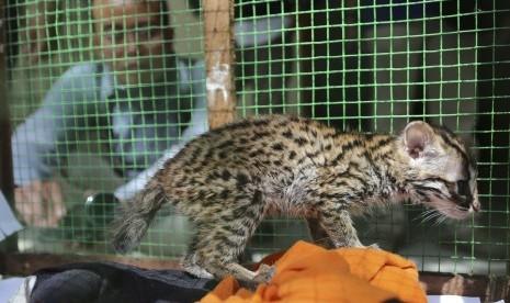 Bbksda Amankan Dua Kucing Hutan Dari Tangan Warga Republika Online
