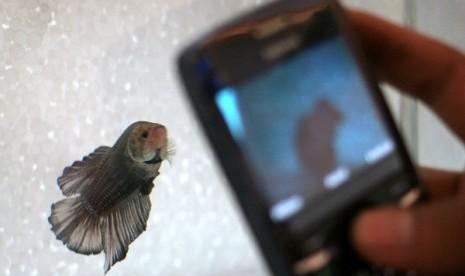 Ssst Ikan Cupang Ternyata Juga Dibawa Ke Salon Republika Online