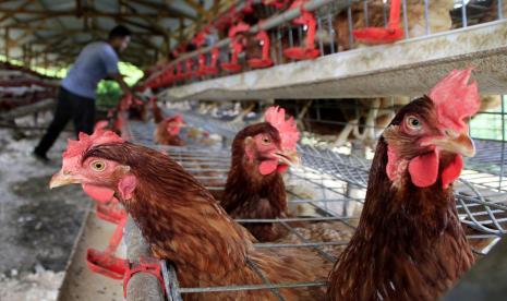 Wagub Sumbar Sebut Ternak Ayam Petelur Tingkatkan Ekonomi thumbnail