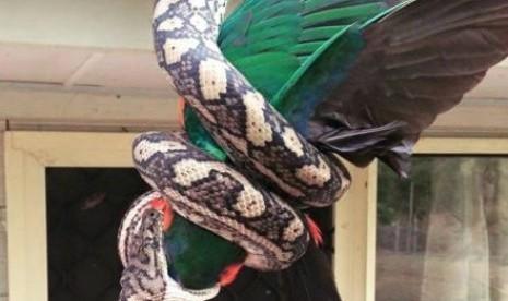 Ular Piton Tertangkap Kamera Menelan Burung Beo Republika Online