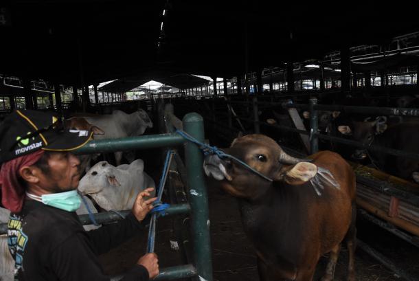 Pekerja merawat sapi untuk qurban, (ilustrasi). Di tengah situasi PPKM dan pembatasan aktivitas saat ini, beli hewan qurban online bisa jadi solusi yang praktis dan juga aman.