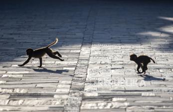 Studi Baru Ungkap Pola Pikir Monyet dan Manusia Lebih Mirip
