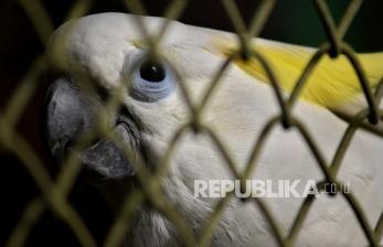 23 Kakatua Koki Dilepasliarkan ke Habitat Aslinya di Maluku