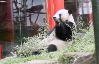 Tiga Tahun di Indonesia, Dua Panda di TSI Tumbuh dengan Baik