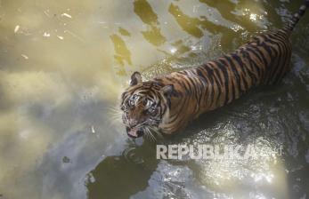 BKSDA Sumbar Lepas Liarkan Harimau Sumatera ke Hutan Pasaman