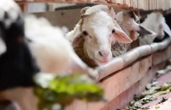 MUI: Sebaiknya Penyembelih Hewan Kurban Tersertifikasi