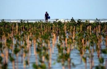 Ekosistem Mangrove Penting untuk Mitigasi Perubahan Iklim