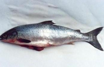 Menjaga Salmon Liar Atlantik tak Punah dari Sungai di AS