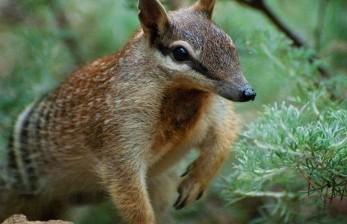 Binatang Khas Tertua Australia Mati di Kebun Binatang