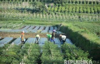 Para buruh tani menanam sayuran di Cikole, Lembang, Kabupaten Bandung Barat, Jawa Barat. (Republika/Edi Yusuf)