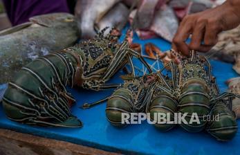 KKP Antisipasi Penyelundupan Benih Bening Lobster