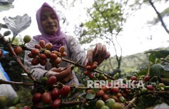 Koperasi BQ Baburayyan Aceh Pasok Kopi Langsung ke Starbucks