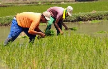 Petani membawa bibit padi untuk ditanam di persawahan.