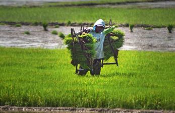 Petani mengangkut benih padi di Kawasan Tasikardi, Kramatwatu, Serang, Banten.