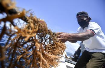 Petani rumput laut memanen rumput lautnya di Desa Nuruwe, Seram Bagian Barat, Maluku.