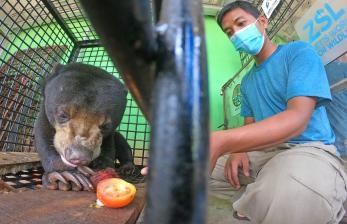 In Picture: BKSDA Selamatkan Beruang Madu yang Masuk ke Permukiman Warga