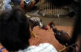 Pria India Tewas Oleh Ayam Jagonya Sendiri, Bagaimana Bisa?