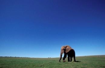 Susu Kambing Jadi Tumpuan Anak Gajah dan Warga Kenya
