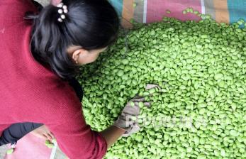 In Picture: Sebanyak 10 Hingga 15 Ton Petai Dumai Diekspor ke Malaysia