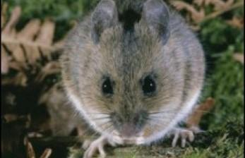 Mimpi Melihat Tikus, Apa Maknanya? Ini Penjelasan Ulama