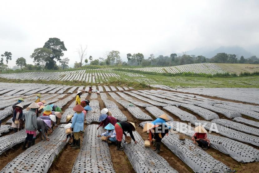 Petani menanam bawang putih (ilustrasi).