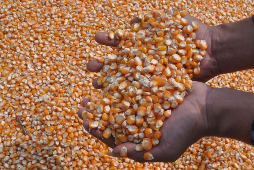 WAYKANAN, 2/10 - PENGARUH IMPOR JAGUNG. Petani menunjukkan jagung yang dalam proses penjemuran  di Balirejo, Blambangan Umpu, Waykanan, Lampung, Selasa (2/10).