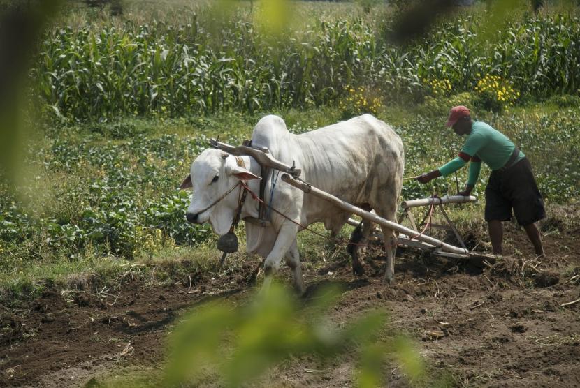 Pekerja membajak sawah dengan sapi di lahan pertanian Prambanan, Sleman, DI Yogyakarta, Jumat (2/11/2018).