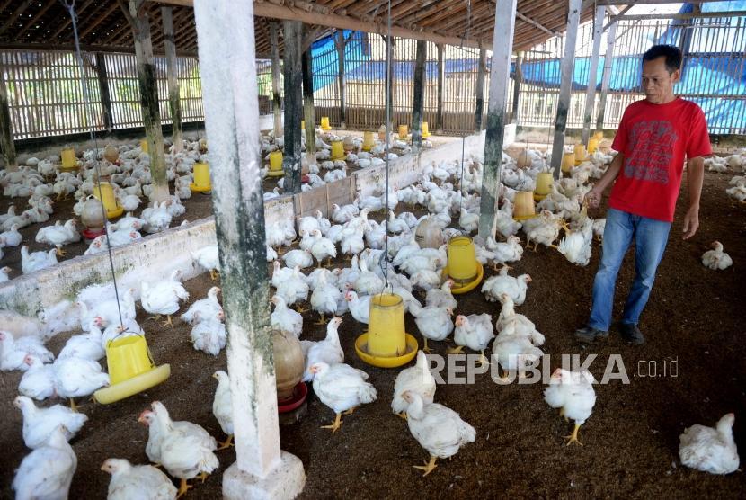 Peternak Ayam Merugi. Peternak memeriksa pakan ayam broiler di Bantul, Yogyakarta, Kamis (27/6/2019).