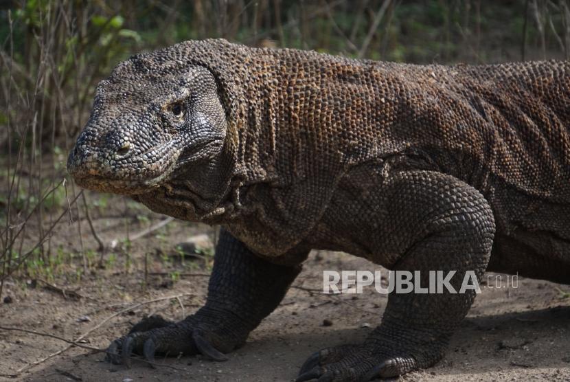 Komodo at its natural habitat at Komodo Island, Komodo National Park, East Nusa Tenggara.