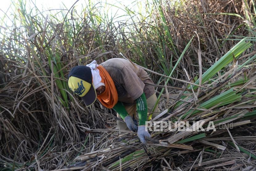 Panen tebu di Godean, Yogyakarta (ilustrasi). Petani menilai mustahil Indonesia swasembada gula pada 2025.