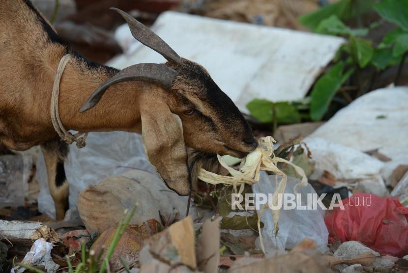 Sejumlah hewan ternak mencari makan di tempat pembuangan sampah (ilustrasi)