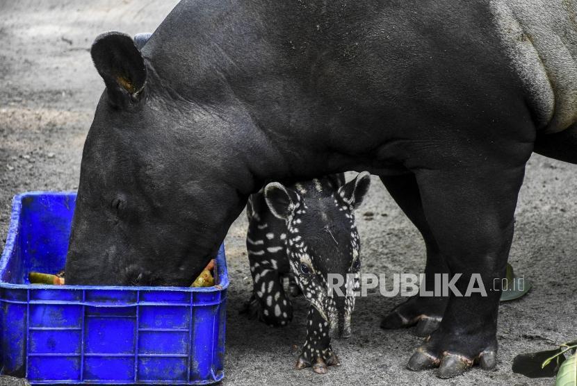 940+ Gambar Hewan Langka Tapir HD