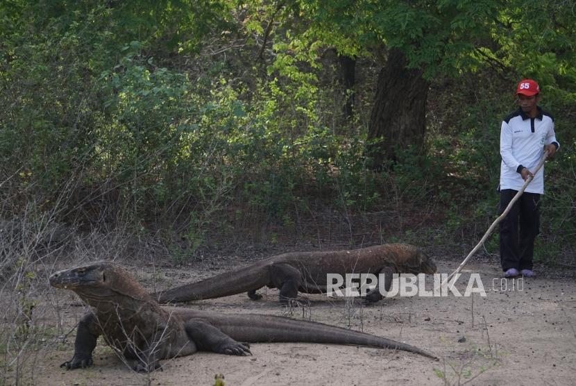 Komodo berada dihabitat asliya di Pulau Komodo, Taman Nasional Komodo, Nusa Tenggara Timur, Sabtu (9/12).
