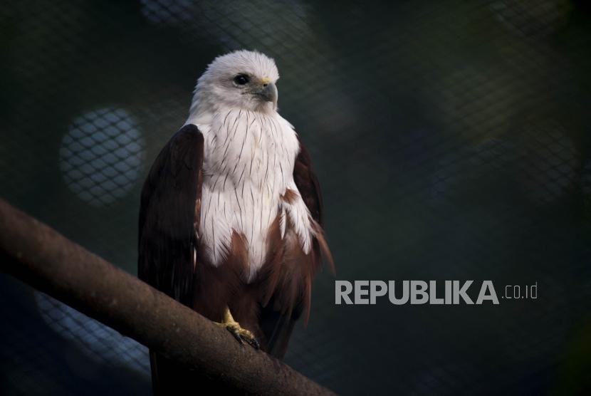 A Bondol eagle at a breeding center on Kotok Timur Isle, Kepulauan Seribu, Jakarta.