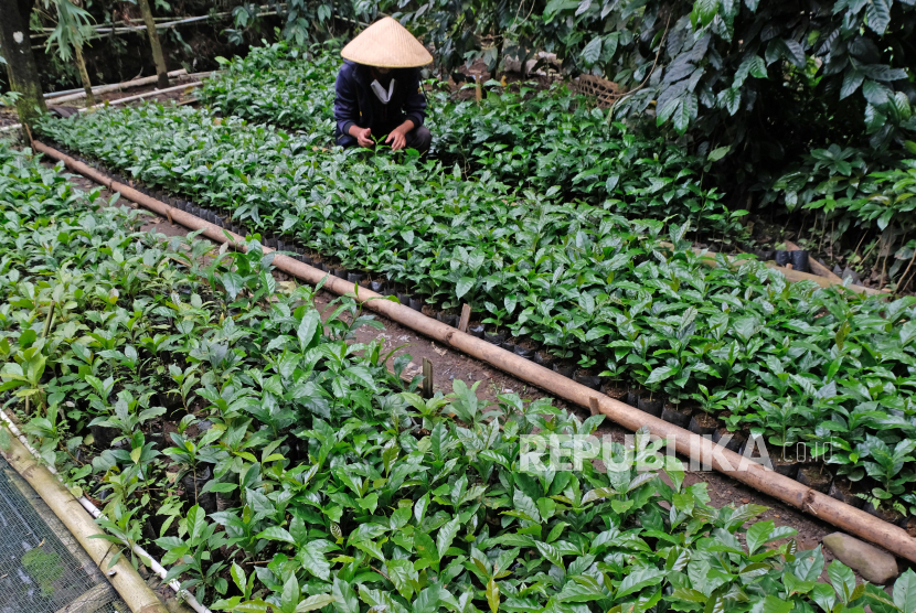 Pembudidaya kopi Arabika Rinto (37) merawat bibit kopi Arabika di pekarangan rumahnya kawasan lereng gunung Sumbing Dusun Pengkol, Ngawonggo, Kaliangkrik, Magelang, Jateng. Kementerian Pertanian terus mendorong penggunaan pupuk berimbang bagi petani. Konsep pemupukan secara efektif, berimbang, dan efisien ini bisa meningkatkan produksi pertanian secara optimal. Beberapa petani milenial pun telah beralih ke penerapan pemupukan tersebut.