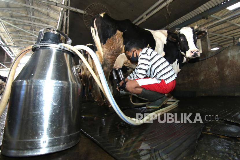 Pekerja memeras susu sapi perah.