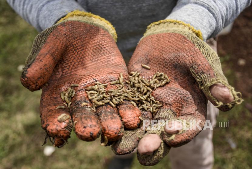 Petani menunjukkan hasil budidaya larva maggot Black Soldier Fly.