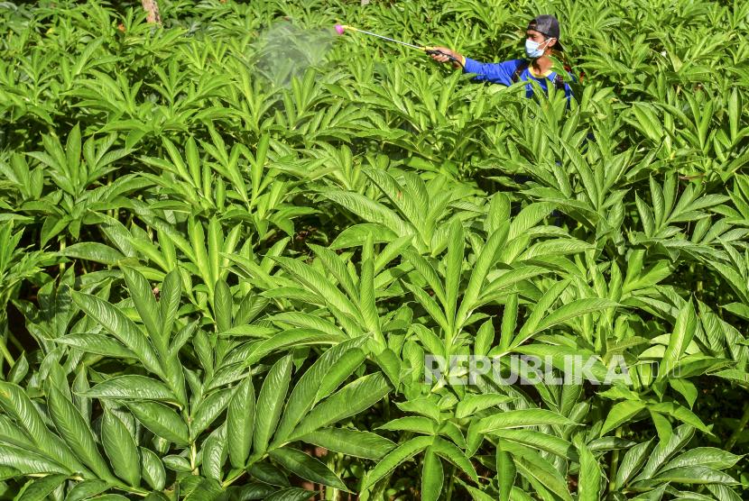 Seorang anggota Asosiasi Petani Milenial Porang Galuh (APMPG) merawat tanaman porang di Desa Handapherang, Kabupaten Ciamis, Jawa Barat, Minggu (17/1/2020). Menurut para petani, permintaan umbi porang untuk industri belum terpenuhi, petani hanya mampu memenuhi 15-20 persen dari 10 juta ton permintaan porang per tahun untuk satu industri, sehingga petani porang Galuh memberdayakan petani muda untuk memanfaatkan lahan yang tidak produktif.