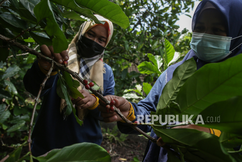 Anggota Kelompok Tani Kopi Melati memetik biji kopi robusta di perkebunan kopi di atas lahan gambut di Desa Talio Hulu, Kabupaten Pulang Pisau, Kalimantan Tengah, Ahad (19/9/2021).