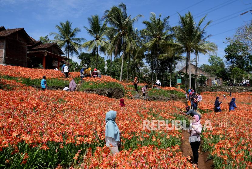 Menikmati Indahnya Taman Bunga Amarilis Di Jogja Republika Online