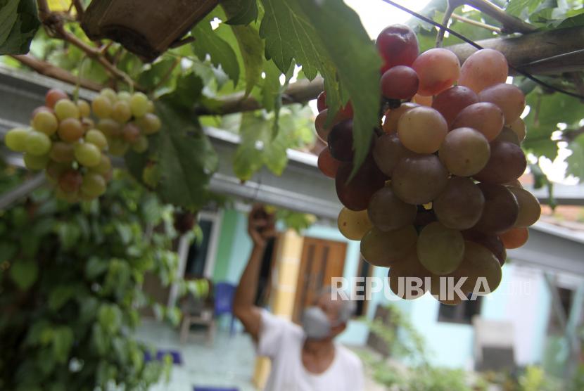 Warga memeriksa tanaman anggur di Gang Obor Patma, Munjul, Jakarta Timur, Rabu (27/10/2021). Sebanyak 15 titik lokasi di lorong gang RW 06 Kelurahan Munjul dimanfaatkan menjadi kebun anggur berbagai varietas dari Ukraina dan menjadi pemasukan tambahan untuk warga.
