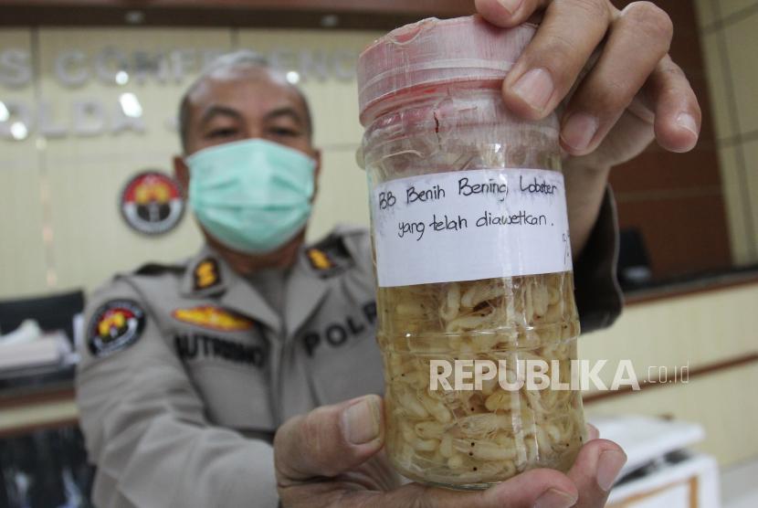 Polisi menunjukkan barang bukti benih lobster saat ungkap kasus perdagangan benih lobster (ilustrasi). Kementerian Kelautan dan Perikanan resmi mengeluarkan larangan ekspor benih lobster,
