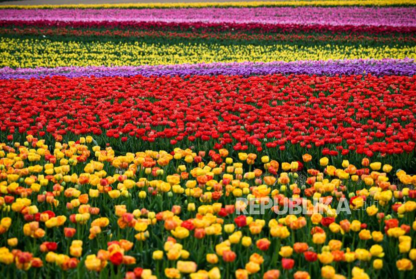 Ketika Bangsa Eropa Mencontek Taman Tulip Utsmani Republika Online