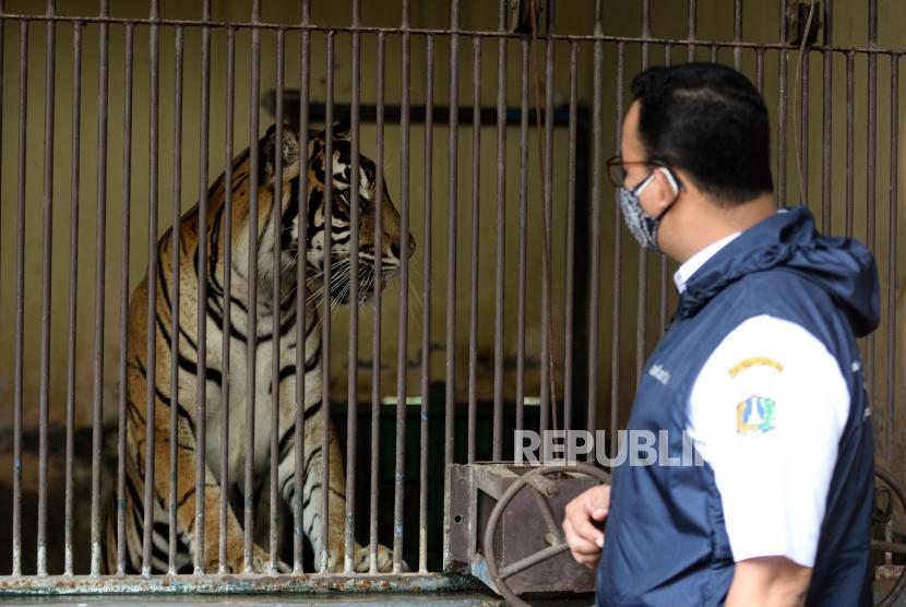 Gubernur DKI Jakarta Anies Baswedan meninjau kondisi harimau Sumatera bernama Tino (9) yang terpapar Covid-19 di kandangnya di Taman Margasatwa Ragunan, Jakarta, Ahad (1/8). Dua ekor harimau Sumatera bernama Hari dan Tino penghuni Taman Margasatwa Ragunan sedang dalam proses pemulihan pasca keduanya terpapar Covid-19 setelah dilakukan pemeriksan PCR pada tanggal 14 Juli 2021. Menurut Kepala Dinas Pertamanan dan Hutan Kota DKI Jakarta, Suzi Marsitawati dua ekor harimau Sumatera tersebut mengalami gejala sesak nafas, keluar lendir dari hidung, dan nafsu makan yang berkurang. Republika/Thoudy Badai