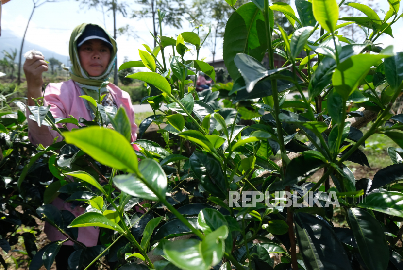 Seorang warga memanen teh Jawa di perkebunan kawasan lereng gunung Sumbing Desa Sontonayan, Kertek, Wonosobo, Jawa Tengah, Selasa (5/5/2020). Tanaman teh Jawa ditanam petani setempat di sela-sela tanaman sayuran, untuk dikonsumsi sendiri dan dijual ke pasar